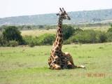 Maasai Giraffe sitting