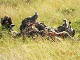 Vultures at a kill