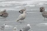 vittrut (Glaucous gull) Helsingborg 20012-02-12
