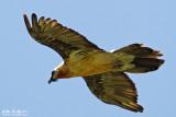 Gipeto (Gypaetus barbatus)