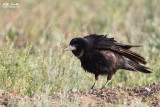 Corvo comune (Corvus frugilegus)
