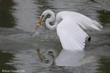 airone bianco maggiore (Egretta alba)