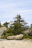 Stunted Tree at Summit