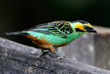 Golden-eared Tanager