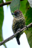 Lafresnayes Piculet