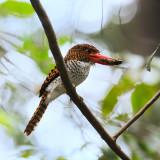 Banded Kingfisher female