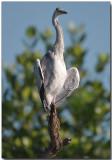 Grey Heron - morning sun