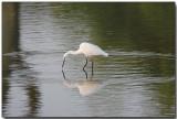 Little Egret - reflections