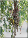 Olive-backed Sunbird - female at the nest