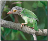 Lineated Barbet