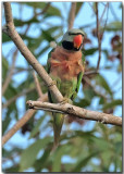 Red-breasted Parakeet - male