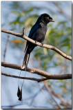 Lesser Racket-tailed Drongo - Male