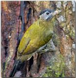 Laced Woodpecker - female