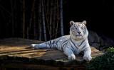White Tiger 03.jpg