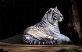 White Tiger 04.jpg
