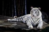 White Tiger 05.jpg