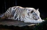 White Tiger 06.jpg