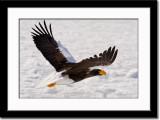 Stellar Sea Eagle in Flight