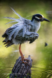 Yellow Crown Heron