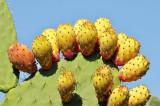 087 Cactus Fruit.jpg
