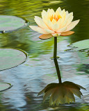 Water lily7906 nt.jpg