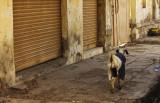 Dressed goat in Junagadh.jpg