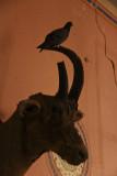 Pigeon in the museum Bhuj 01.jpg