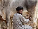 Kutch milking cow.jpg