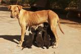 Khumbaria puppies.jpg