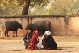 Patan cowherds.jpg