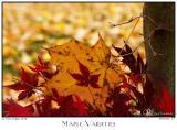 06Nov05 Maple Varieties - 7179