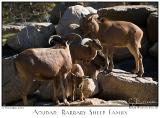 12Nov05 Aoudad Barbary Sheep Family - 7297