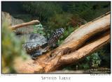 12Nov05 Spotted Turtle - 7346