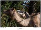 12Nov05 Camels - 7350