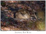 12Nov05 Sleeping Red Wolf - 7356