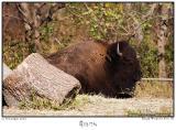 12Nov05 Bison - 7359