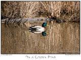 12Nov05 On a Golden Pond - 7382