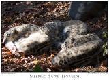 12Nov05 Sleeping Snow Leopards - 7353