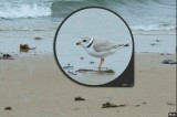 piping plover.tiff