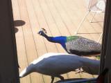 Peacocks on Oakcrest