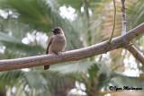 Bulbul golanera (Pycnonotus barbatus - Commun Bulbul)