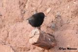 Monachella nera (Oenanthe leucura - Black Wheatear)
