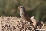 Trombettiere (Bucanetes githagineus - Trumpeter Finch)