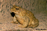 Sclerophrys mauritanica - Berber Toad