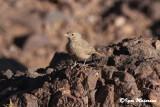 Allodola del deserto (Ammomanes deserti - Desert Lark)