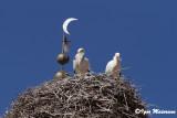 Cicogne (Ciconia ciconia - White Stork)