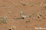 Calandrina (Calendrella rufescens - Lesser Short-toed Lark)