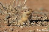 Fat sand rat - Psammomys obesus