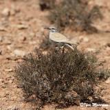 Allodola beccocurvo (Alaemon alaudipes - Hoopoe Lark)