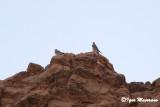 Lanario ssp. erlangeri (Falco biarmicus erlangeri - Lanner Falcon)